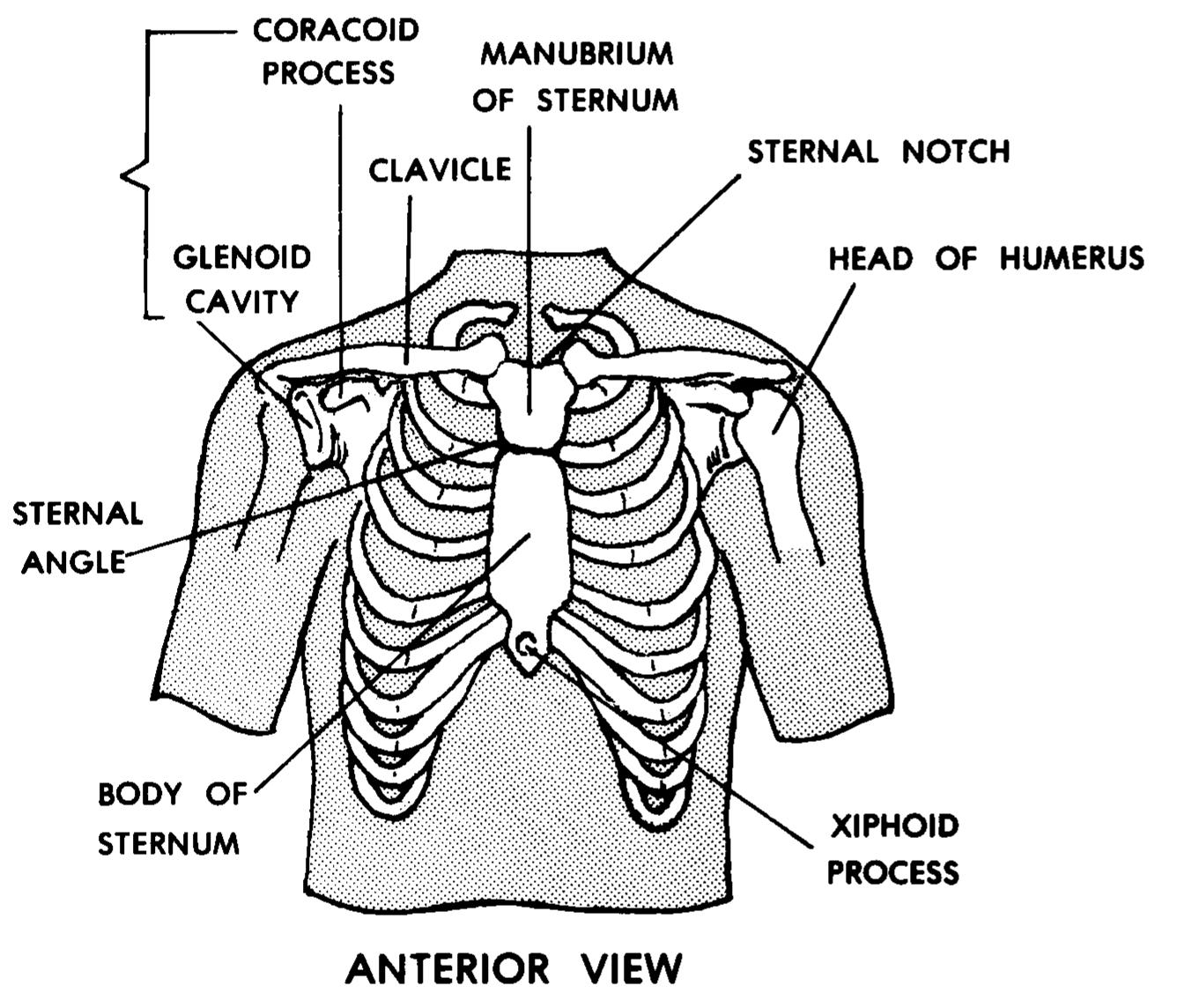 Muscles Of The Anterior Chest Manual Guide