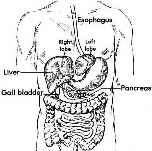 Studyland18 blogspot in addition Histology Of Gi Tract Flash Cards furthermore 16027383 in addition Digestive System Lecture 5 Prehension And Taste 2012949 as well . on digestive system salivary glands