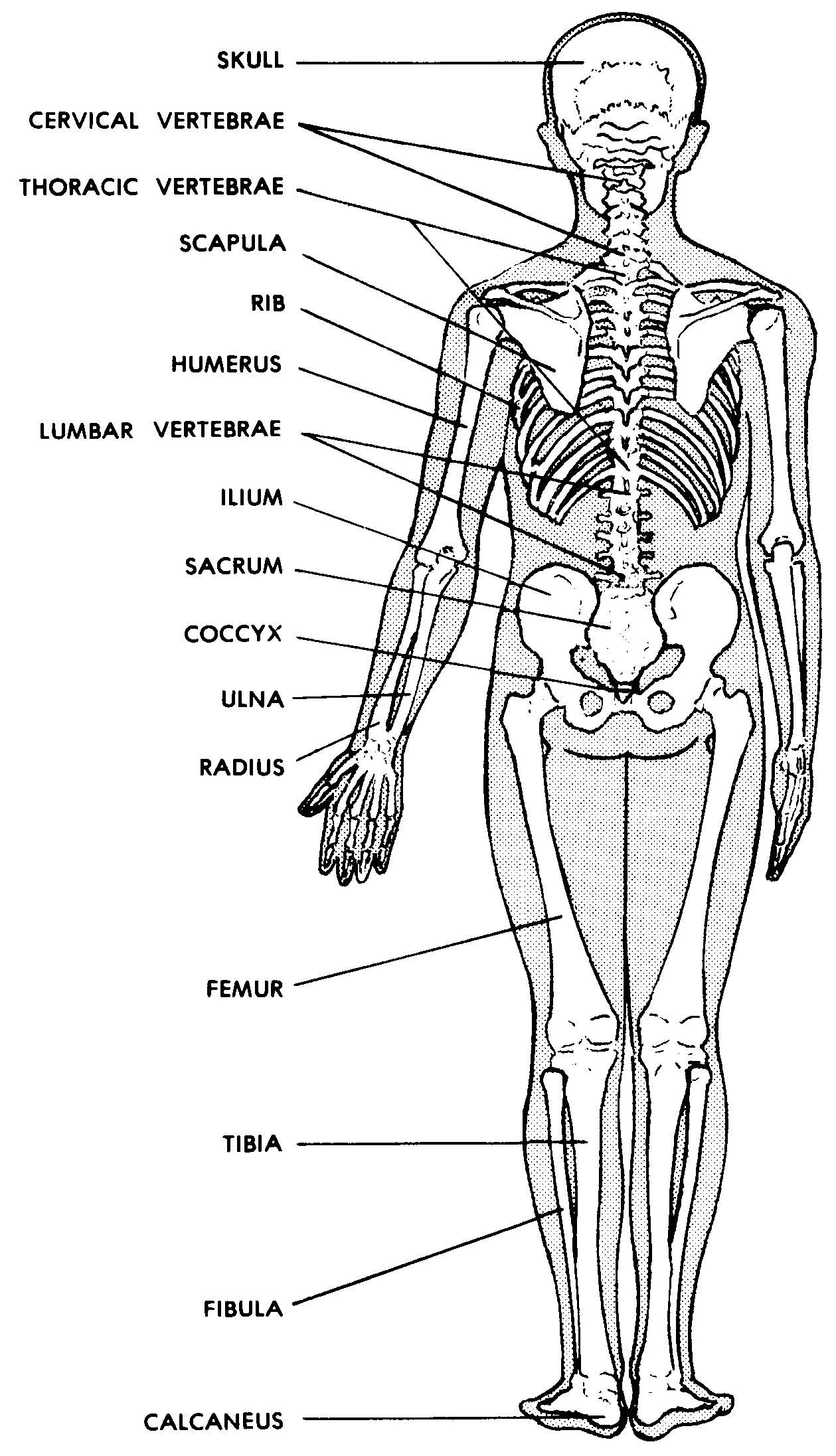 images 04. skeletal system | basic human anatomy, Skeleton