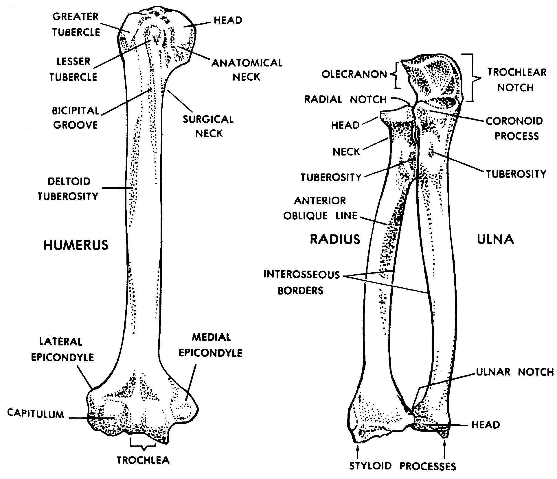 Anatomy Radius Ulna Choice Image - human body anatomy