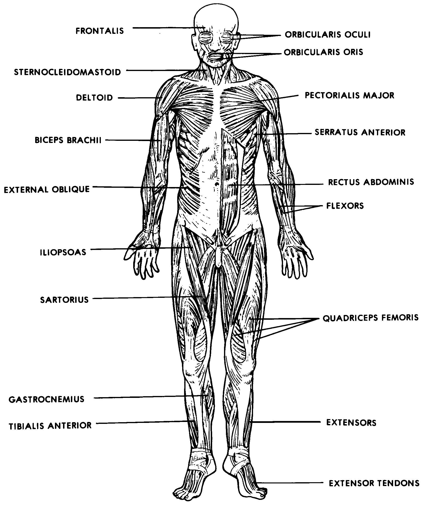 images 05 muscular system basic human anatomy
