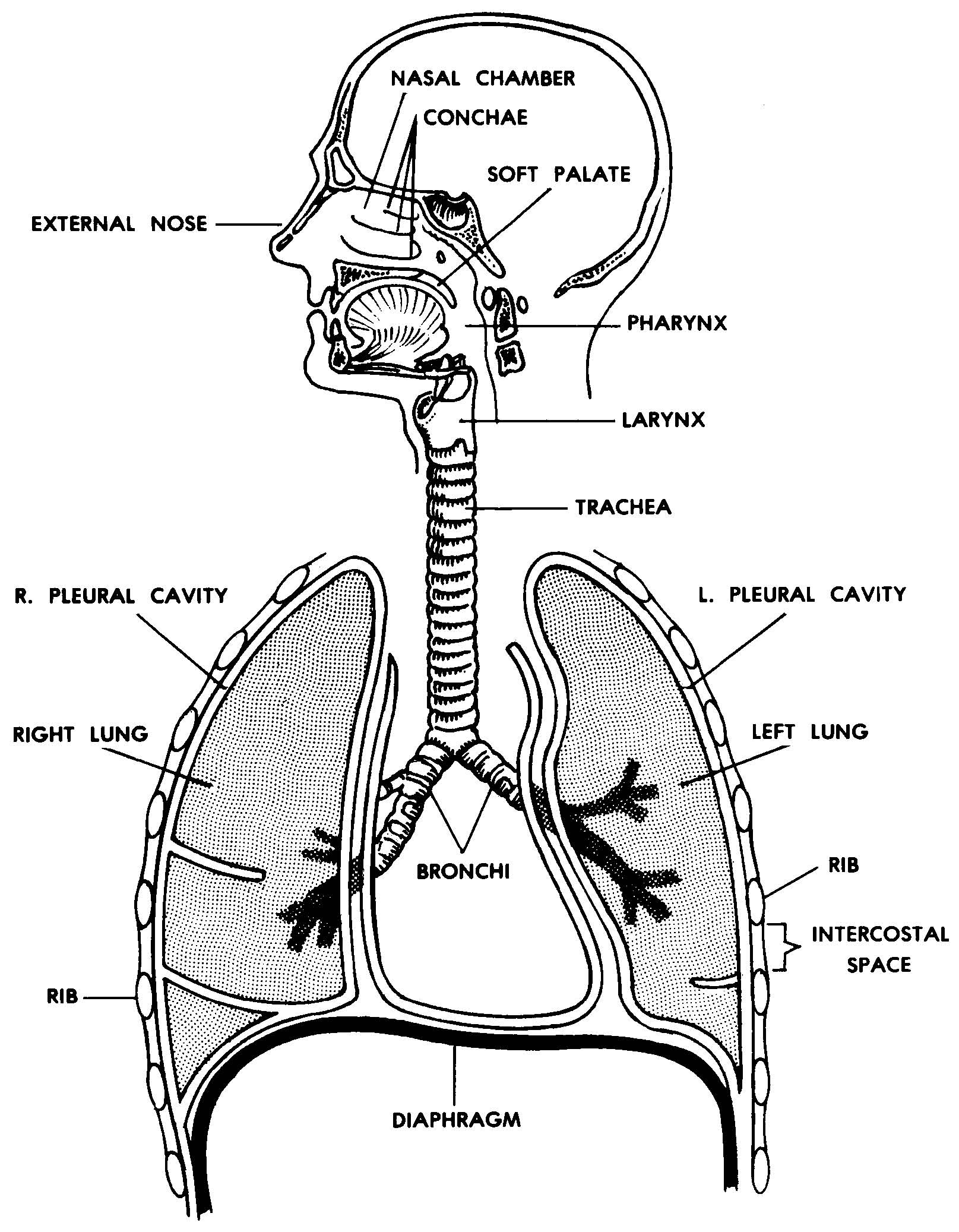 Images 07 respiratory system and breathing basic human anatomy the human respiratory system ccuart Choice Image