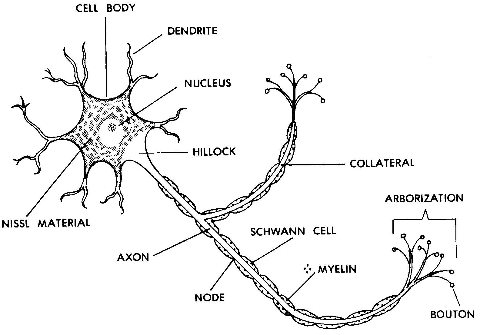 Images 11 nervous system basic human anatomy figure 11 1 a typical neuron ccuart Image collections
