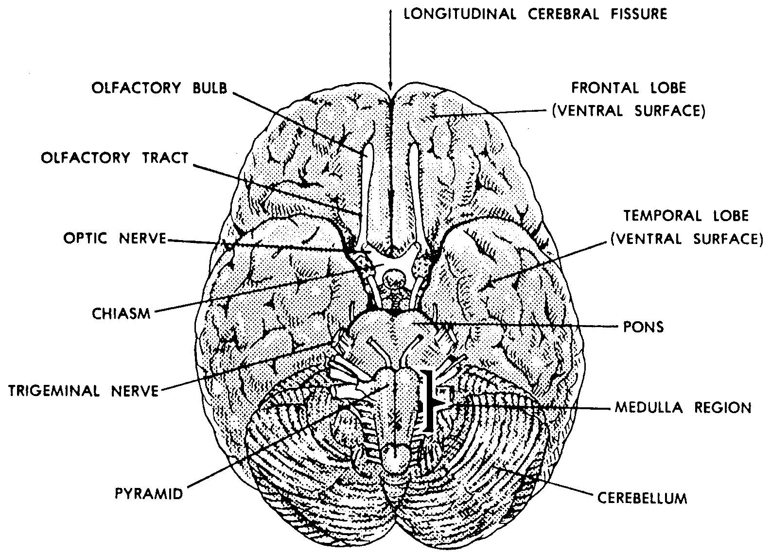 Images 11 nervous system basic human anatomy human brain bottom view ccuart Gallery