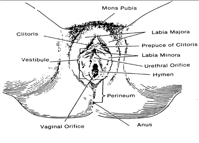 104 external female genitalia obstetric and newborn care i external female genitalia ccuart Image collections