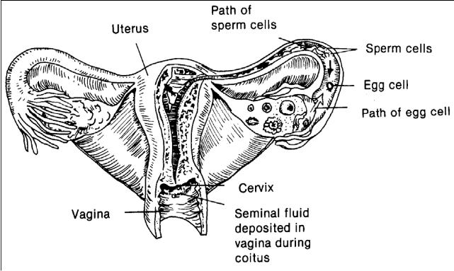 2 02 principles of fertilization  conception