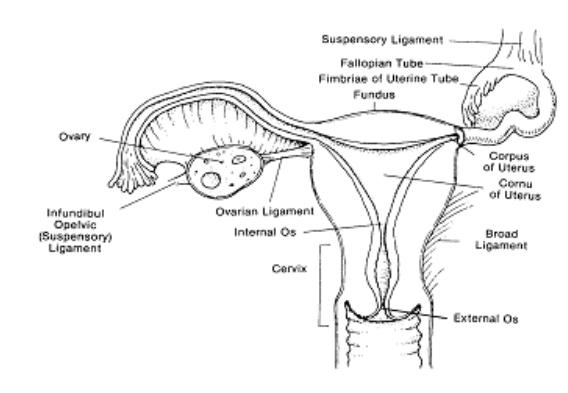 Lesson 1 Reproductive Anatomy And Physiology