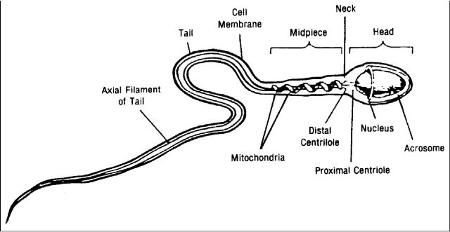 The best. parts of the sperm cell like