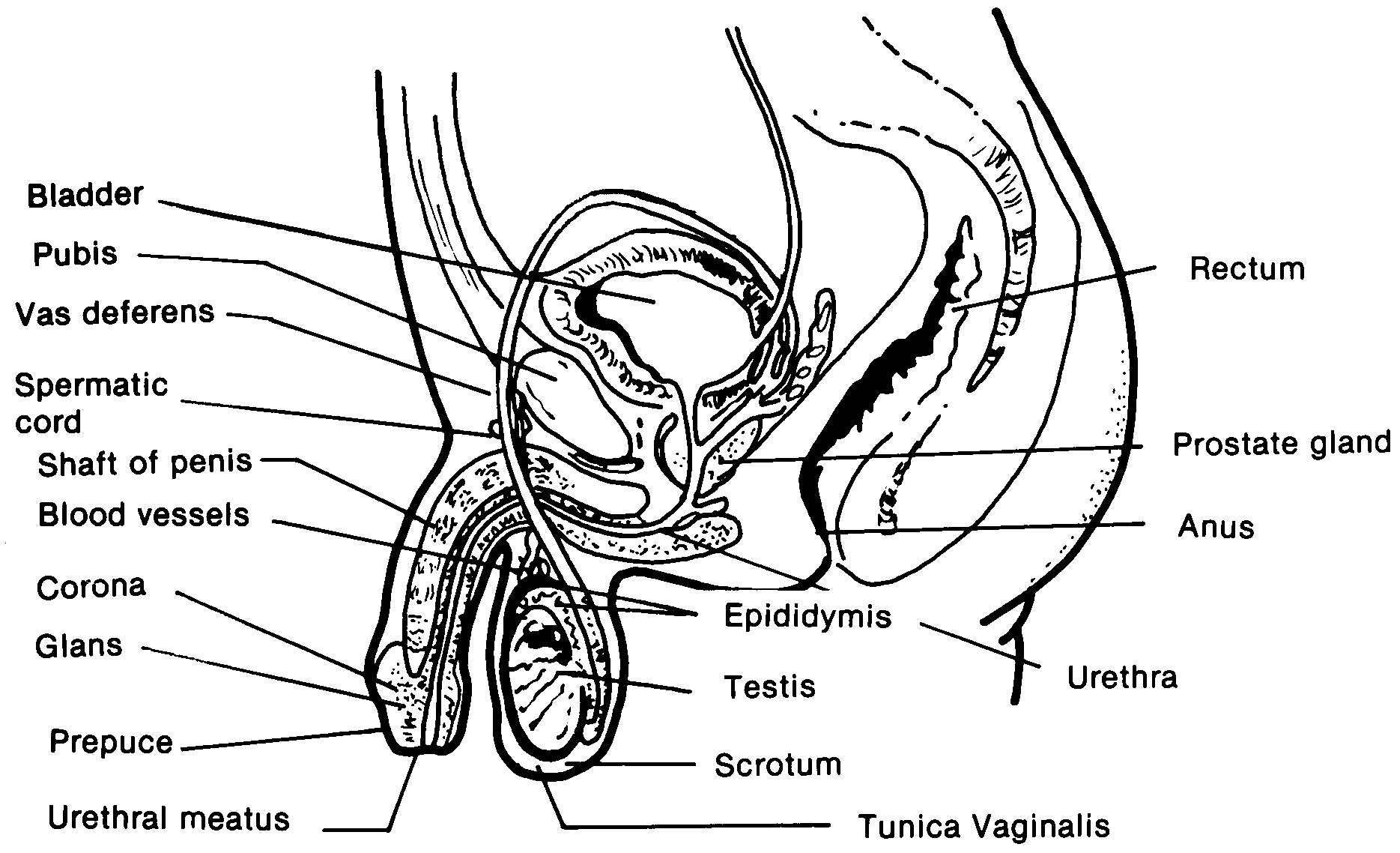 Images 08. Urogenital Systems | Basic Human Anatomy