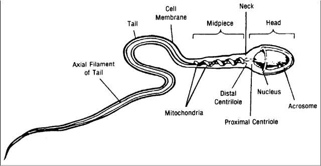 Diagram of the sperm