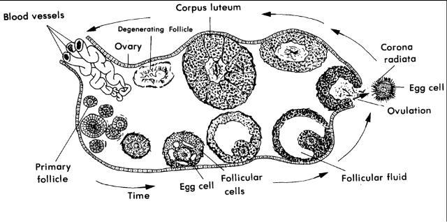 1 03 internal female organs